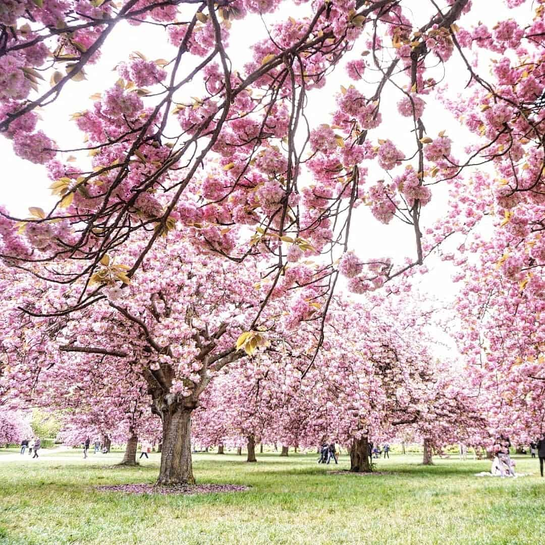 blossom at sceaux