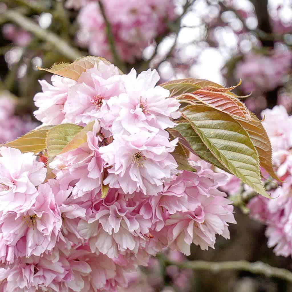 cherry blossom sceaux paris france