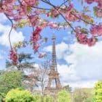 cherry blossoms in paris