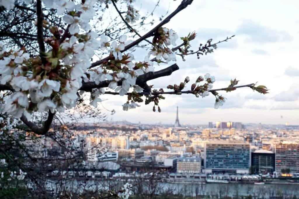 cherry blossoms in saint cloud