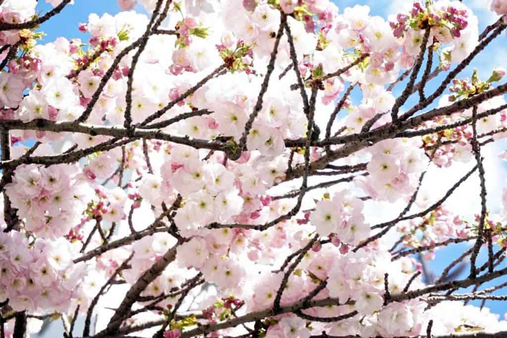blossoms at parc de belleville
