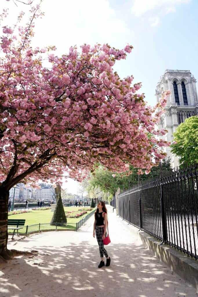 cherry blossoms notre dame