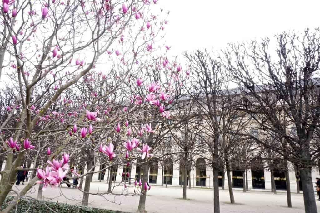cherry blossom palais royale paris
