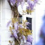 elm place: a guide to finding wisteria blossom in london England