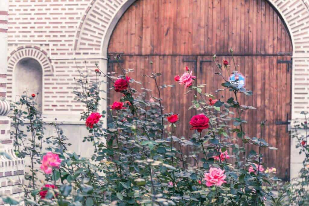 roses in romania