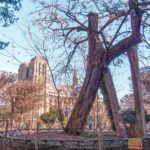 In search of the oldest tree in Paris, France, (and it's within view of Notre Dame). A visit to Square René Viviani, 5th arrondissement, Latin, Quarter, France!
