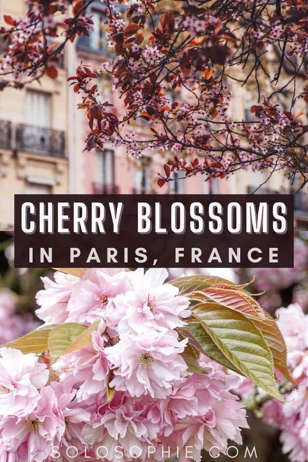 Spring in Paris France/ Where to Find Cherry Blossoms in Paris