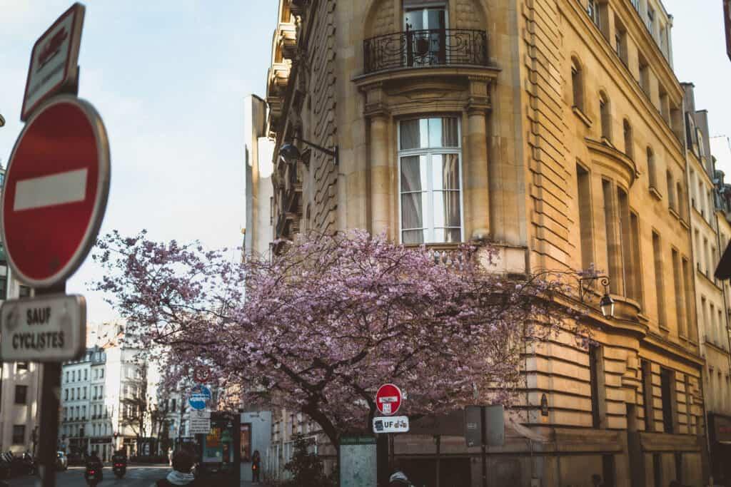 rue du Louvre cherry blossom