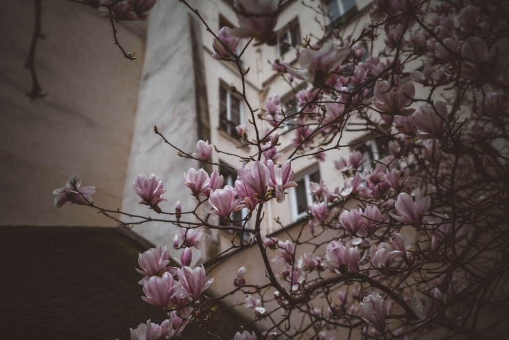 Jardin Anne Frank magnolia