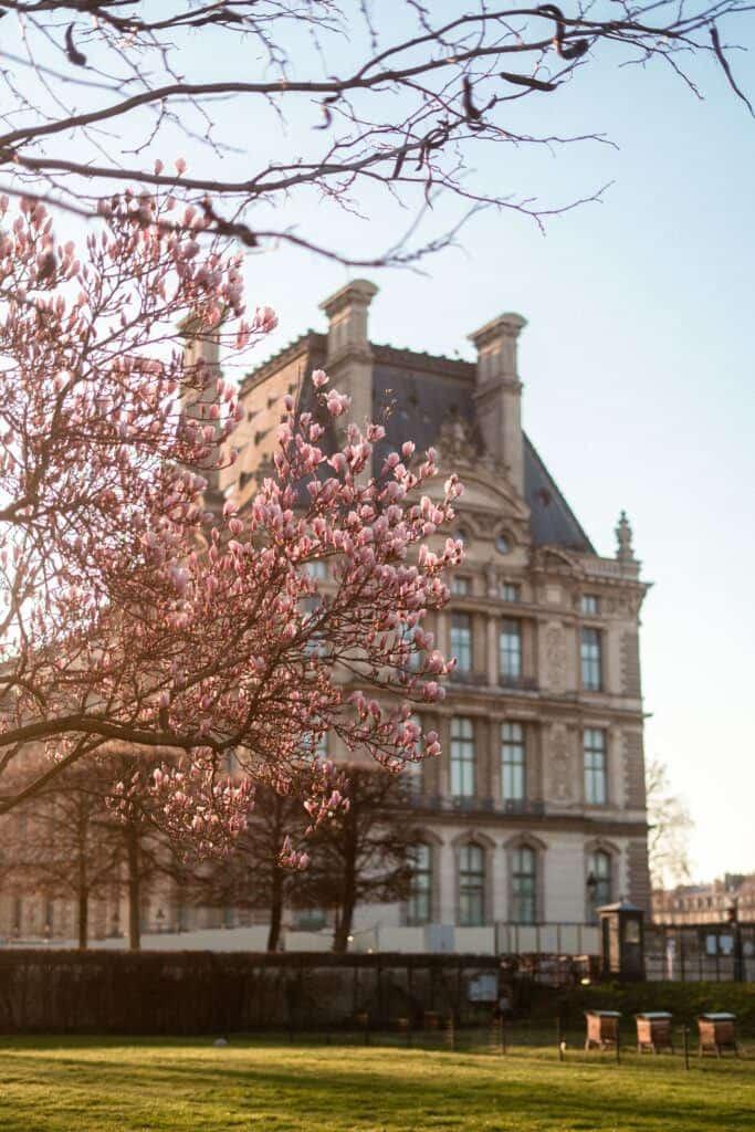 magnolia jardin des tuileries