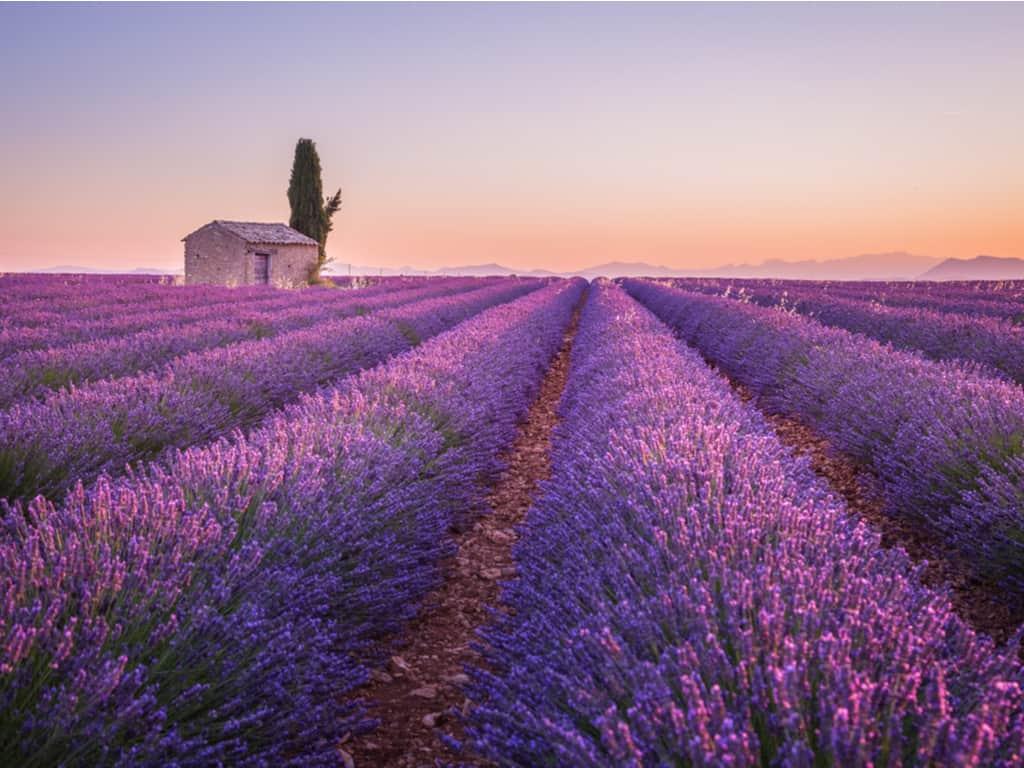 Provençal Lavender Fields
