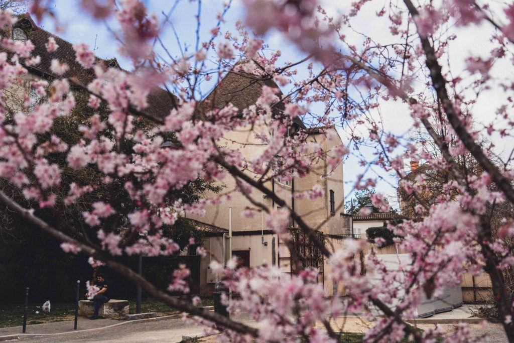 cherry blossom in front of museum Mâcon, Burgundy