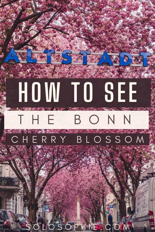 Best of Bonn Germany/ Where to Enjoy the Best of Bonn Cherry Blossom