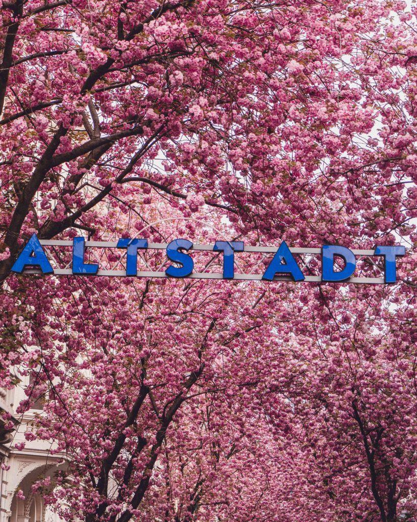 Breite straßein Bonn, Germany during the cherry blossom season with the Altstadt sign