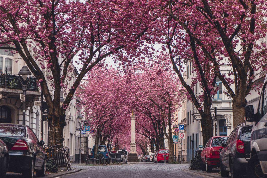 Heerstraße cherry blossom street in Bonn, Germany