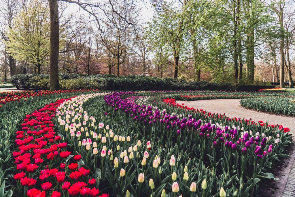 Purple and red tulips with yellow daffodils in Keukenhof