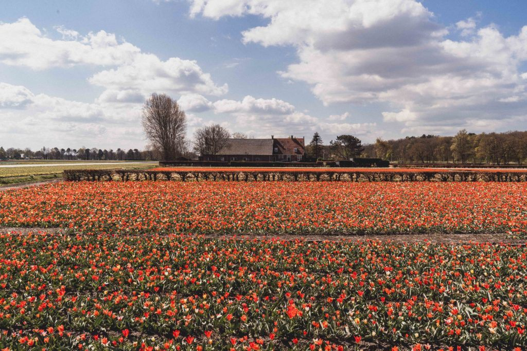 How to visit the Lisse Tulip Fields in the Bulb Region